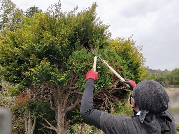 石巻便利屋フォーカスのお墓の植木剪定)墓所の植木を剪定バサミで剪定作業中